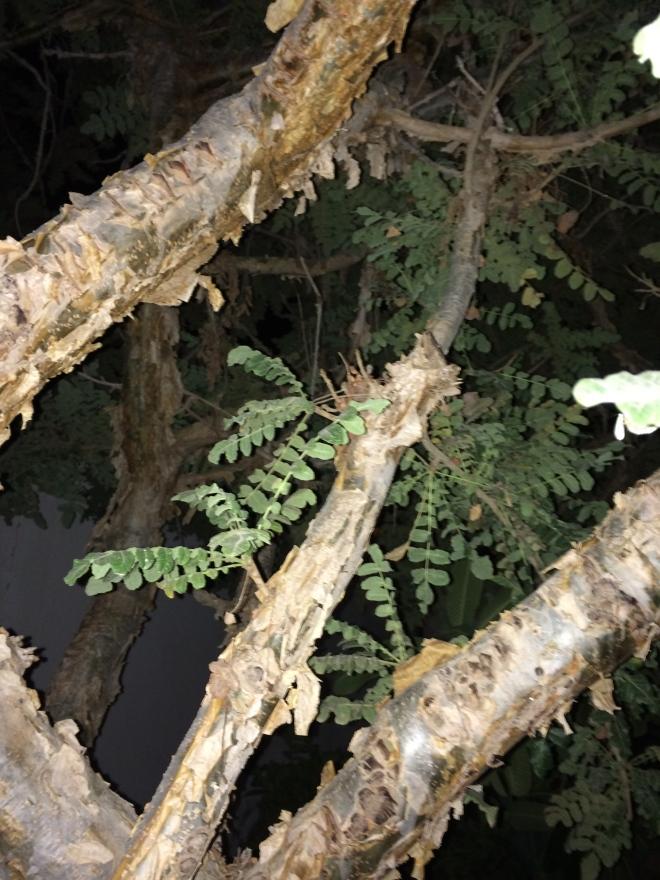 Im Muscat findet sich in jedem Garten ein Weihrauchbaum - wachsen tun sie eigentlich im südliche Salate etwa 1000 Kilometer entfernt (Foto: Balkanblogger)