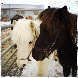 Die kleinen wundervollen Isländer sind lieb, gutmütig und sehr ausdauernd. Ein Ritt durch die Winterlandschaft mit den liebevollen Wesen ist ein unvergessliches Erlebnis! Im leichten Trab geht es in die weite unberührte Natur ... (Foto: balkanblogger)
