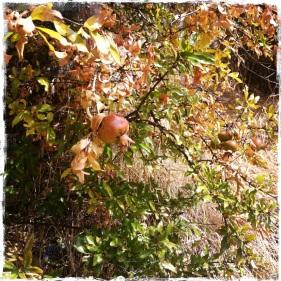 Den Weg nach oben zur Burg säumen Granatapfelbäume. Auch wenn es sehr heiss werden kann in den Sommermonaten, sollte man den Aufstieg wagen, denn ... (Foto: balkanblogger.com)